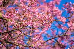 Sakura in Thailand Royalty Free Stock Photography