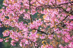 Sakura in Thailand Stock Photos