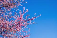 Sakura Thailand Cherry Blossom en flujo hermoso del rosa del día de la primavera Foto de archivo libre de regalías