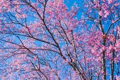 Sakura Thailand Cherry Blossom en flujo hermoso del rosa del día de la primavera Imagen de archivo libre de regalías