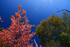 Sakura Thailand, green tree, and blue sky Royalty Free Stock Photography