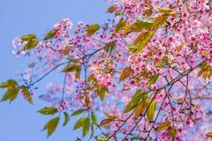 Sakura Thailand niebieskiego nieba różowy piękny tło Fotografia Royalty Free