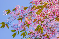 Sakura thailand pink beautiful blue sky background. Sakura flowers blooming blossom in PhuLomLo Loei Province , Thailand Royalty Free Stock Photography