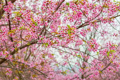 Sakura thailand pink beautiful. Sakura flowers blooming blossom in PhuLomLo Loei Province , Thailand Royalty Free Stock Photography
