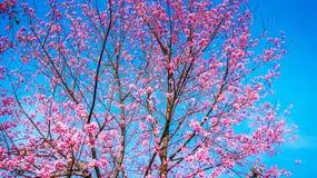 Sakura Thailand Stock Photos