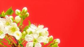 Sakura Timelapse στο κόκκινο φιλμ μικρού μήκους