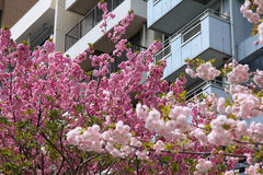 Sakura in Tokyo Royalty Free Stock Photography