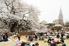 Sakura in Tokyo, Japan. Tokyo, Japan - March 23, 2013: Japanese people is sitting in Shinjukugyoen park seeing Sakura blossom at Shinjuku, Tokyo, Japan royalty free stock photo