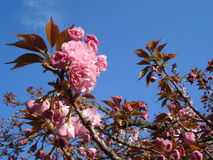 Sakura tot bloei komende takjes stock foto