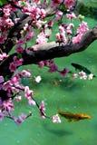 Sakura träd i dammet med fisken Royaltyfri Foto
