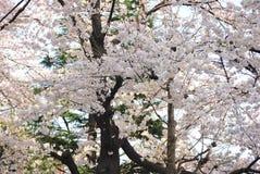 Sakura träd Tokyo Japan Arkivbilder