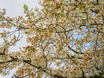 Sakura trädblomning Arkivbilder
