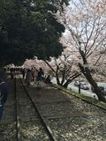 Sakura Tree Photographie stock libre de droits