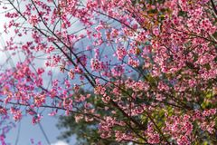 Sakura Tree immagini stock libere da diritti