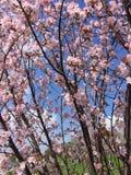 Sakura Tree Fotografia de Stock