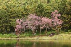 sakura tree Royaltyfri Foto