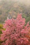 sakura tree Royaltyfri Bild