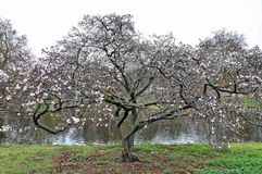 Sakura Tree Imagem de Stock