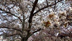 Sakura Tree Fotos de archivo