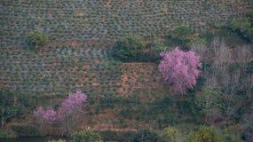 Sakura Tree Fotografia Stock Libera da Diritti