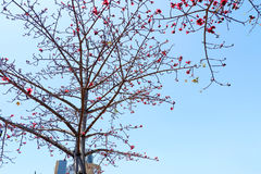 Sakura Tree Foto de Stock