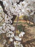 Sakura Tree imágenes de archivo libres de regalías