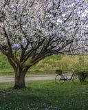 Sakura Tree bij park Stock Afbeeldingen