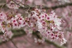 Sakura tree in bloom Stock Photography