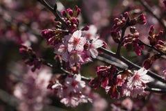 Sakura tree in bloom Stock Photos