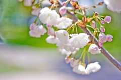 Pink cherry flowers. Sakura tree in bloom on spring Royalty Free Stock Photography
