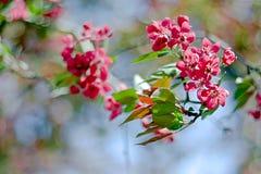 Pink cherry flowers. Sakura tree in bloom on spring Stock Photo