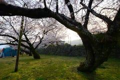 sakura tree Stock Photos