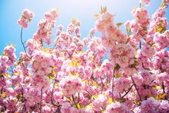 Sakura tree blooming in sunny day on natural backdrop. Stock Photography