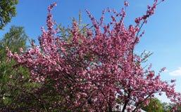 Sakura tree blooms in the spring stock images