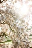 Sakura tree in blossom branch Royalty Free Stock Photo