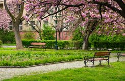 Sakura tree blossom in garden at springtime. Beautiful springtime background. Pink Sakura trees behind the wooden bench in blossoming city park Royalty Free Stock Photo