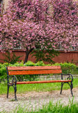 Sakura tree blossom in garden at springtime. Beautiful springtime background. Pink Sakura trees behind the wooden bench in blossoming city park Royalty Free Stock Image