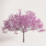 Sakura tree blossomed in the spring. Studio photography bloomed Sakura blossoms Royalty Free Stock Image