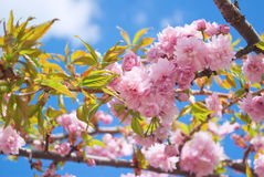 Sakura tree blossoms in spring against a blue sky Stock Photos
