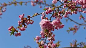 The sakura tree with blue sky in the background. General view of a branch of the sakura tree with blue sky in the background stock footage