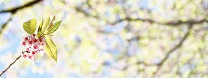 Sakura tree branch over bokeh background Royalty Free Stock Images