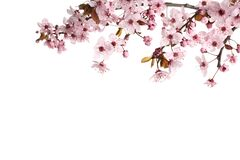 Free Sakura Tree Branch With Beautiful Pink Blossoms Isolated On White Stock Photo - 219832550