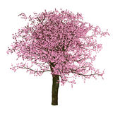 Sakura tree, cherry, isolated Stock Images