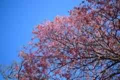 Sakura Tree Chiangmai Thailand lös himalayan körsbärsröd prunus cer Arkivbild
