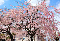 Sakura tree Royalty Free Stock Photo