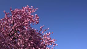 Sakura tree in the daylight on the blue sky and no clouds in the background. stock footage