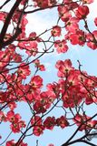 Sakura Tree at Daytime Stock Photos