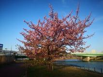 Sakura Tree royalty-vrije stock fotografie