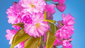 Sakura Tree Flowers rose banque de vidéos