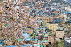 Sakura tree at Gamcheon Culture Village, Busan Royalty Free Stock Photos